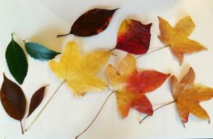 拾ってきた葉たち