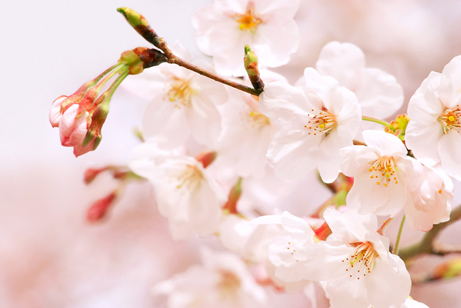 xcherry-blossom_00007.jpg.pagespeed.ic