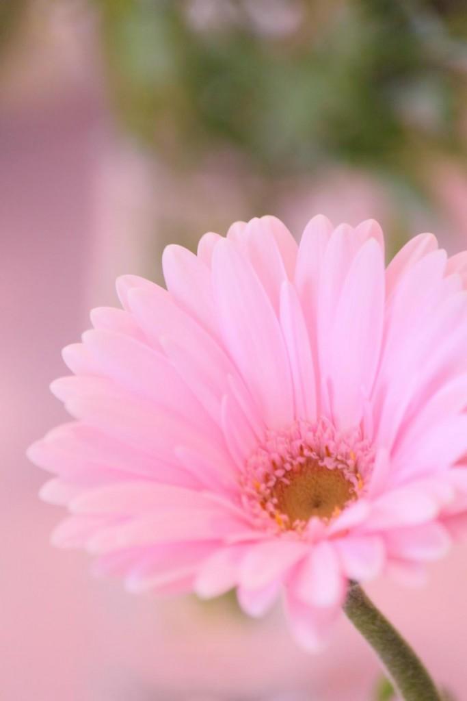 ピンクのガーベラは「崇高美」。高嶺の花といった感じでしょうか。